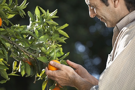 Middle age farmer examining oranges on tree in farm
